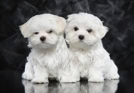 سگ مالتز maltese