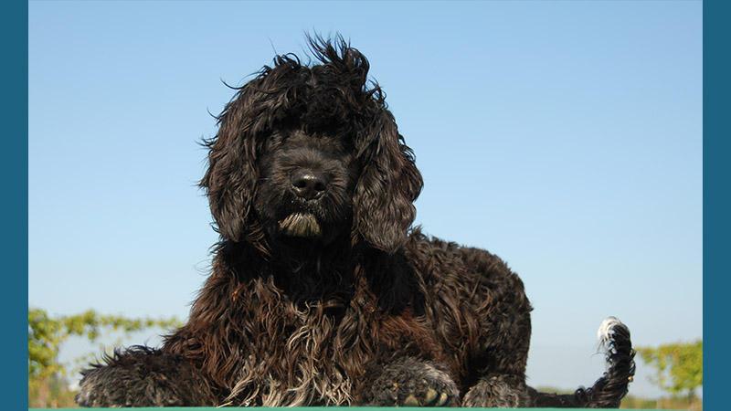 سگ آبی پرتغالی