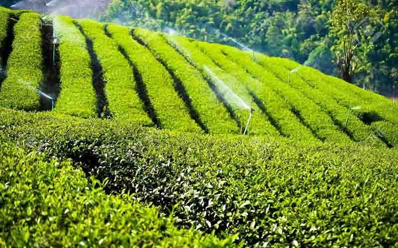 باغ-چای