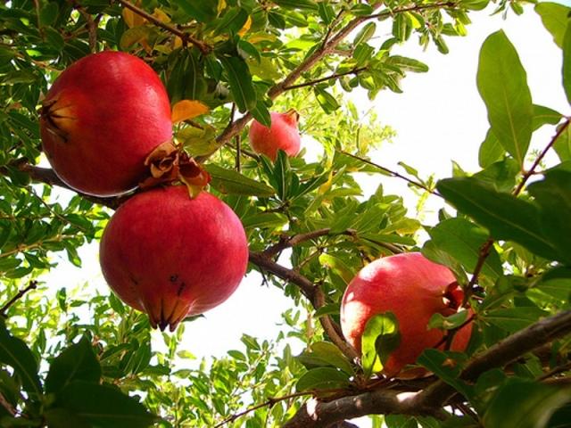 گلابی، سیب، خرمالو، آلوچه و انار