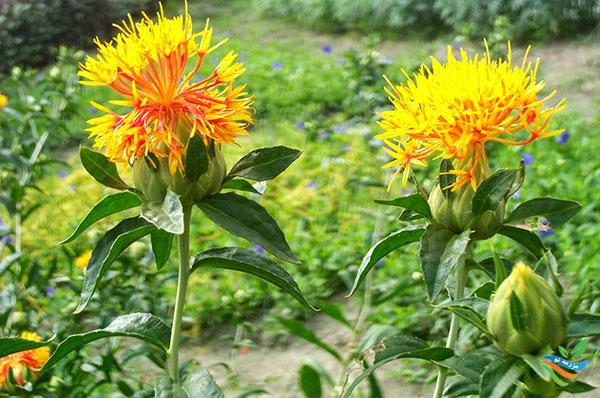 گیاه گلرنگ در هشترود