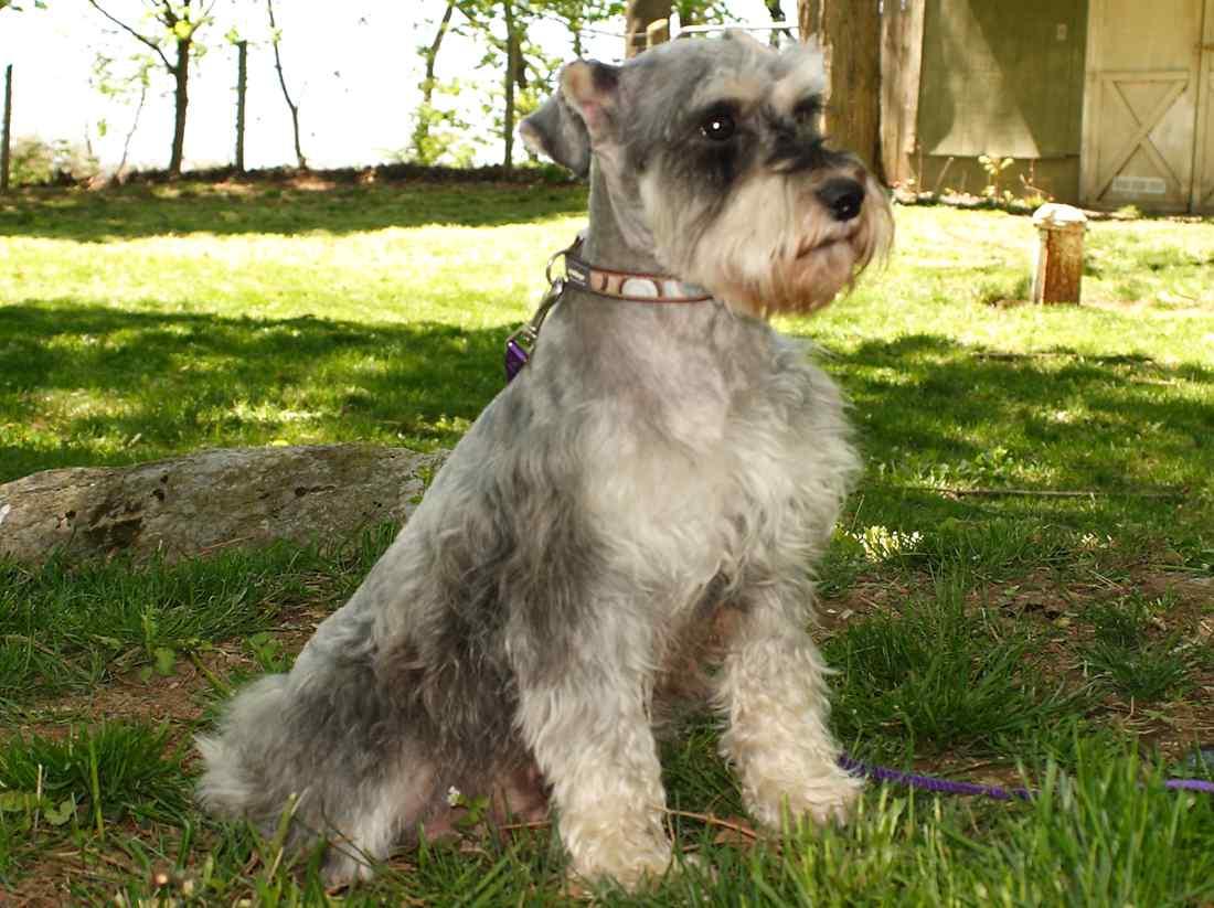 سگ اشناوزر