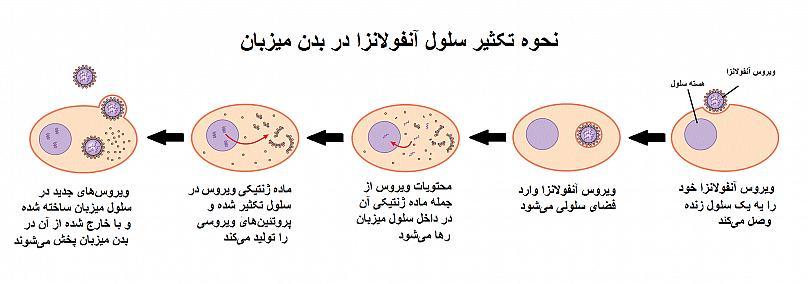 نحوه تکثیر آنفولانزا
