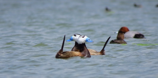 اردک سرسفید