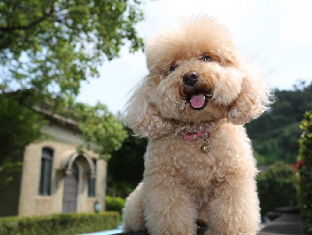 سگ پودل Pudel