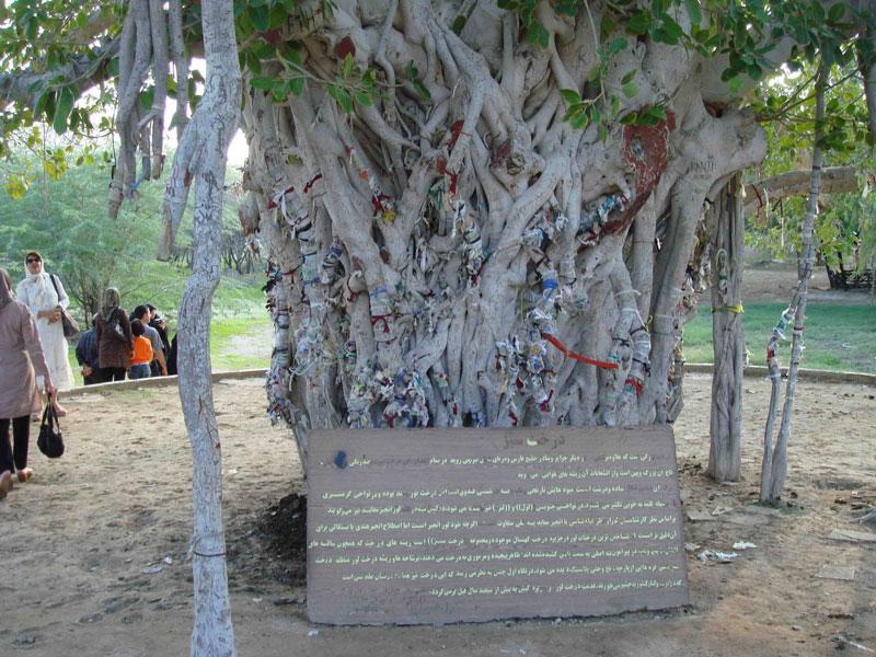 درخت انجیر معابد در جزیره قشم