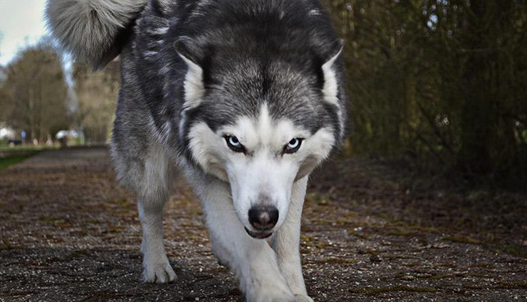 سگ سیبرین هاسکی1