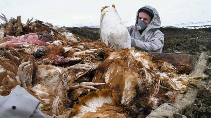 طیور بومی کانونهای شیوع آنفولانزای پرندگان در کرمانشاه