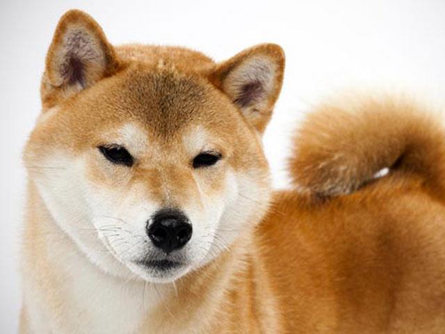 سگ شیبا اینو