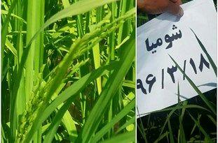 ظهور اولین خوشه برنج در روستای شومیا