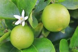 شروع برداشت لیمو شیرین لیسبون از باغهای شهرستان رودان