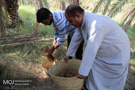 برداشت خرما از نخلستان های شادگان خوزستان