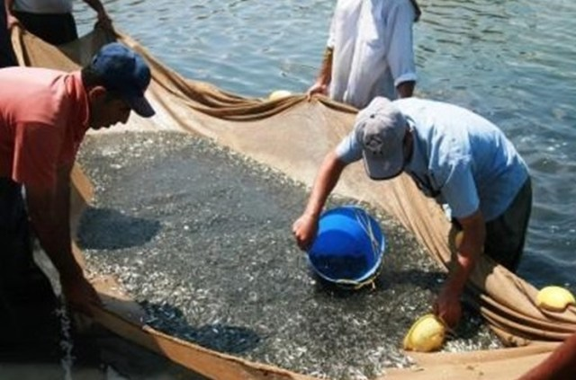 رهاسازی بیش از ۳۰میلیون بچه ماهی سفید در رودخانهها