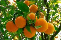 مازندران 70 درصد نارنگی و پرتقال کشور را تأمین میکند