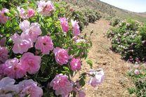 افزایش دو برابری کشت گل محمدی در کاشان