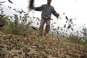 هجوم ملخهای صحرایی به حاجیآباد/ ردیابی ملخها در هشت هزار و ۵۰۰ هکتار