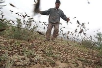 مبارزه با آفت ملخ صحرایی در 22 هزار هکتار مزارع و باغ های هرمزگان