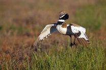 جلوگیری از شکار غیرمجاز 3 هزار پرنده زنگوله بار در بیله سوار