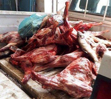 240 کیلوگرم گوشت غیر قابل مصرف در مبارکه معدوم شد