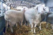 قاچاق دام به عراق تهدید برای افزایش قیمت گوشت قرمز / شقه بدون دنبه کیلویی 100 هزار تومان است