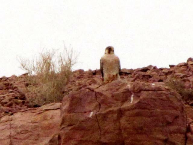 تصویر برداری از شاهین سرخ در منطقه حفاظت شده عباس آباد نایین