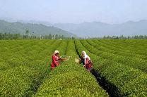 ۳۲ درصد پول چایکاران پرداخت شد / پیشبینی برداشت ۱۱۵ هزار تن برگ سبز چای