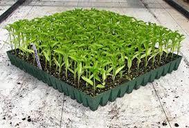 کاهش مصرف آب از مزایای طرح تولید نشا سبزی و صیفی