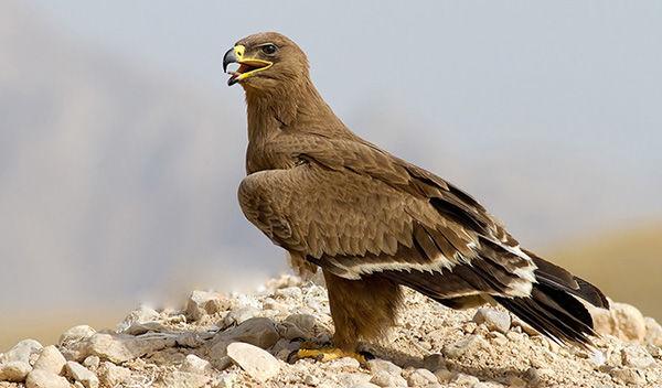 رهاسازی پرندگان شکاری در تالاب بهشت معصومه قم