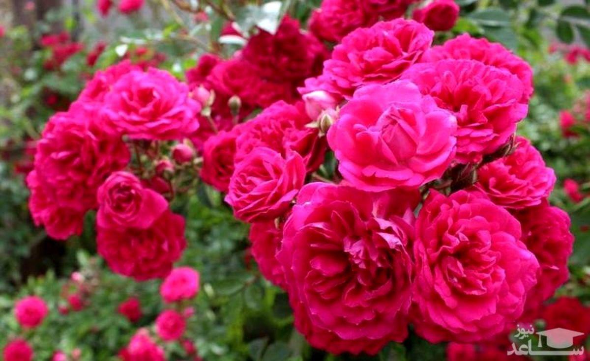 برند سازی گلاب شیرکوه یزد در دستور کار/ فعالیت۳ واحد صنعتی فراوری گل محمدی در شیرکوه