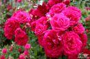 افزایش ۹۰ هکتاری سطح کشت گل محمدی در ساری