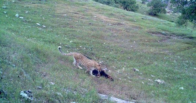 شناسایی یک قلاده یوزپلنگ ایرانی در قصرشیرین