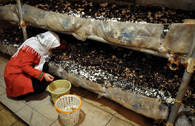 سرانه مصرف قارچ در کشور از میانگین جهانی پایین تر است