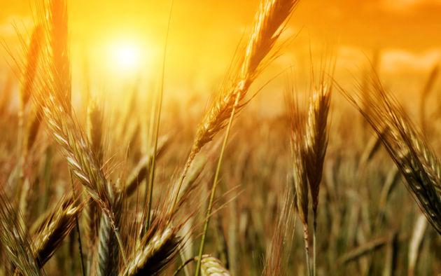 ۱۶۱ هزار تن گندم خوراکی ۴ استان در بورس کالا عرضه می شود