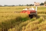 برداشت 35 درصدی خوشههای طلایی برنج در مازندران