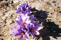آغاز کاشت زعفران در شهرستان حاجی آباد