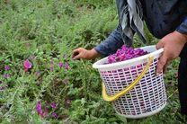 برداشت بیش از17هزار تن گیاهان دارویی در کاشان