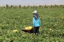 اختصاص 300 هکتار از اراضی پارس آباد به کشت خربزه