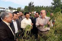 برنجکاری اقتصادی شده است/ برداشت150 هزار هکتار از مزارع برنج استان به صورت مکانیزه