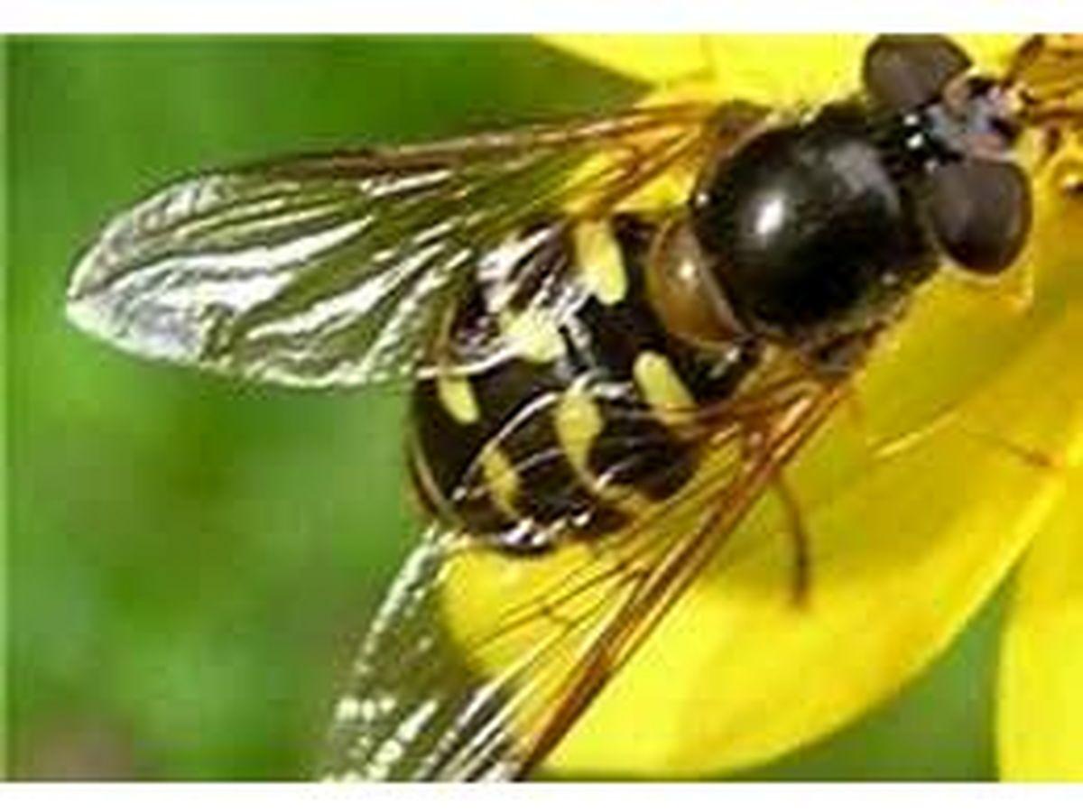رهاسازی زنبور تریکوگراما در 50 هکتار از خزانه و زمین اصلی برنج