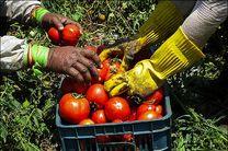 آغاز برداشت گوجه فرنگی از زمینهای کشاورزی بخش سندرک