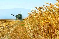 ۴۵ هزار تن گندم از کشاورزان هرمزگانی خریداری شد