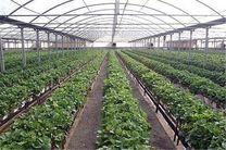 50 هکتار از اراضی کرمانشاه زیر کشت گلخانهای هستند