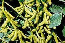 پیش بینی خرید 130 تن دانه روغنی سویا از کشاورزان سیمرغ
