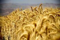 داد وستد ۳۰ هزار تن گندم خوراکی در بورس کالا