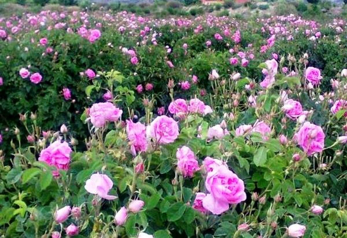 پیش بینی برداشت بیش از 200 تن گل محمدی در شهرستان فریدن