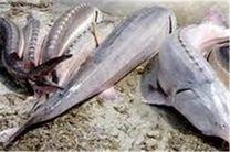صید ماهیان خاویاری خزر ممنوع شد