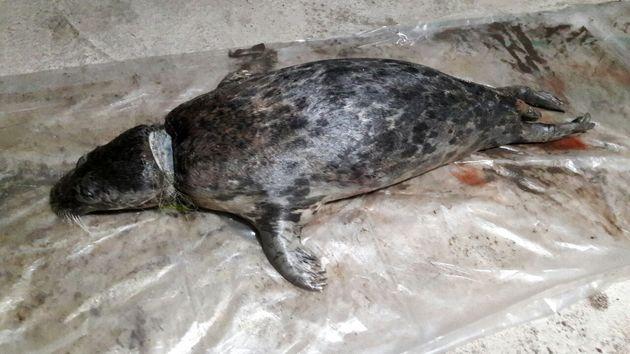 لاشه یک قلاده فک خزری در ساحل رودسر کشف شد