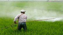 سمپاشی گسترده مزارع گندم و جو کرمانشاه علیه علفهای هرز