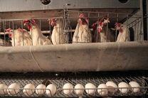 بیماری آنفلوآنزای حاد پرندگان باعث شد تعداد زیادی از مرغ های تخمگذار از رده خارج شوند