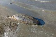تور ماهیگیران در ساحل سرخرود دومین فک خزری را تلف کرد